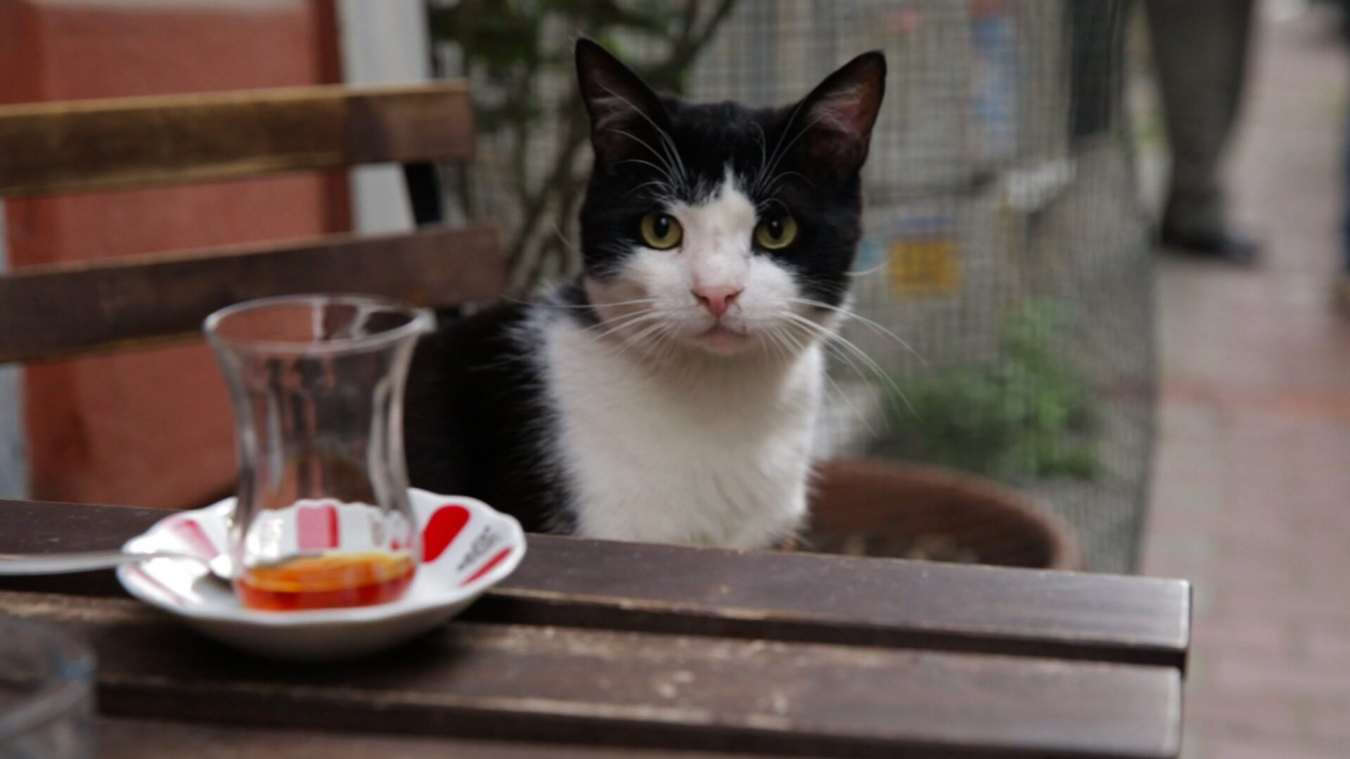 Pal Springs Film Festival Kedi (Turkey)